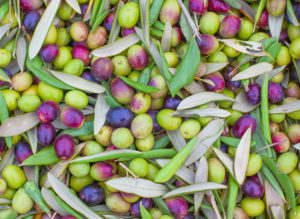 fresh-picked olives to be cold-pressed into olive oil
